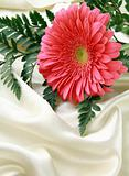 Pink bright  Gerbera on a silk background