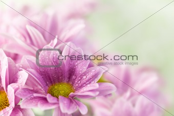 Beautiful spring daisy flowers