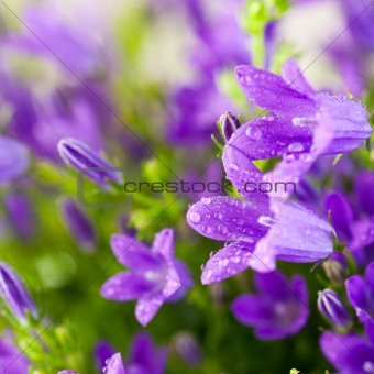 Beautiful spring campanula flowers