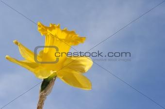 Beautiful image of bright yellow daffodil flower against stunnin