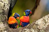 Colourful Rainbow Lorikeets