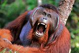 The male of the orangutan grimaces and yawns.
