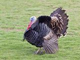 free range turkey cock 2