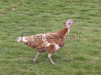 free range turkey hen 2