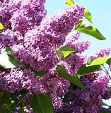 Lilac with leaves on a blue sky as background