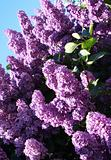 Lilac with leaves on a blue sky background