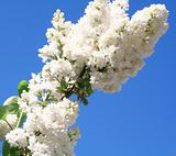 White lilac with leaves on a blue sky