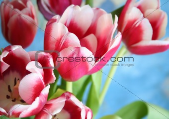Bouquet of the fresh tulips on the blue background