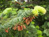 Fir tree with cone