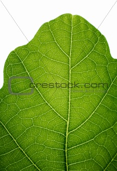 Top of an oak leaf, isolated on white, closeup.