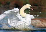 The Swan's Bath