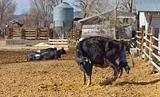 Cow Giving Birth