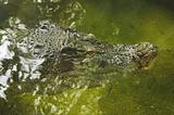 a crocodile face in water