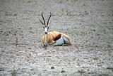 Springbok at Ethosa National Park
