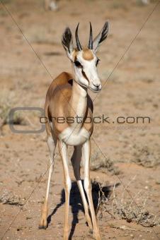 Baby Springbok