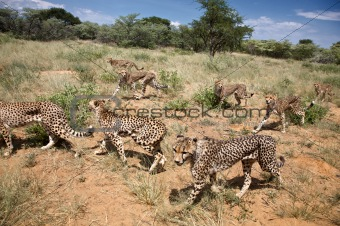 Group of Cheethas looking for food