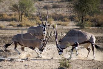 Gemsboks fighting