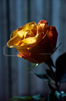closeup lit flower rose