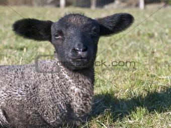 Black Faced Baby Lamb
