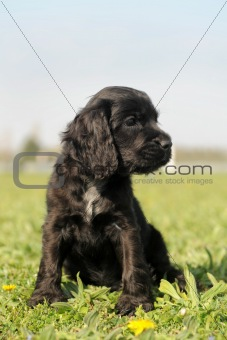 puppy english cocker