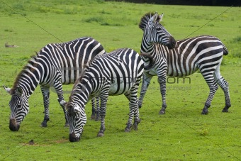 Three zebras on a green grass