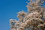 Beautiful fresh Spring blossom on vibrant blue sky