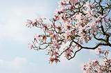 Beautiful fresh magnolia Spring blossom on vibrant blue sky