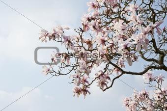 Beautiful fresh magnolia Spring blossom on vibrant blue sky