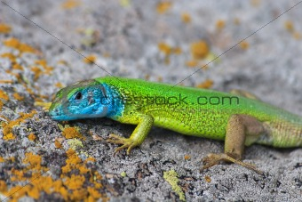 green lizard (lacerta viridis)