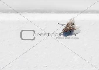 Black fly on white