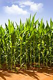Beautiful green maize growing on the field
