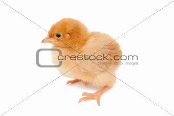 Baby chicken