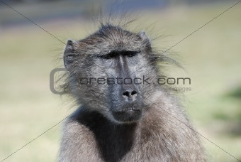 Baboon looking curious