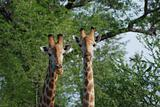 Two Giraffes looking curious