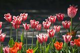 Pink tulips on a flowerbed