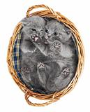 Two british kittens in a basket