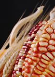 Colorful Maize Cob
