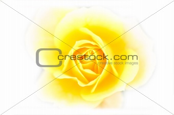 Close up of yellow rose - soft focus