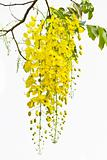 Cassia on white background.