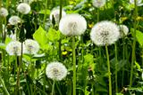 white dandelion
