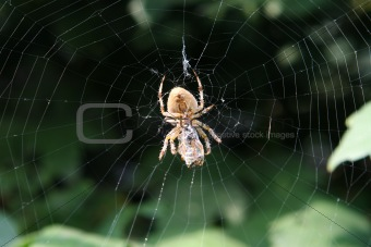 Garden spider on web. Wasp in the web