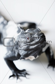 Spiny Tailed Iguana