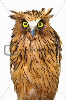 Malay Fish Owl