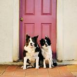 Border Collies in Front of a Purple Door