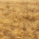 Ripe wheat field 2