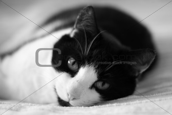 cat laying on bed portrait bw