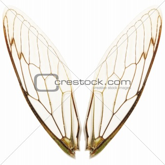 pairs of cicada wings