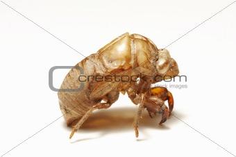 cicada shell on white background