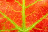 red maple leaf texture