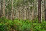 Boranup Forest 1
